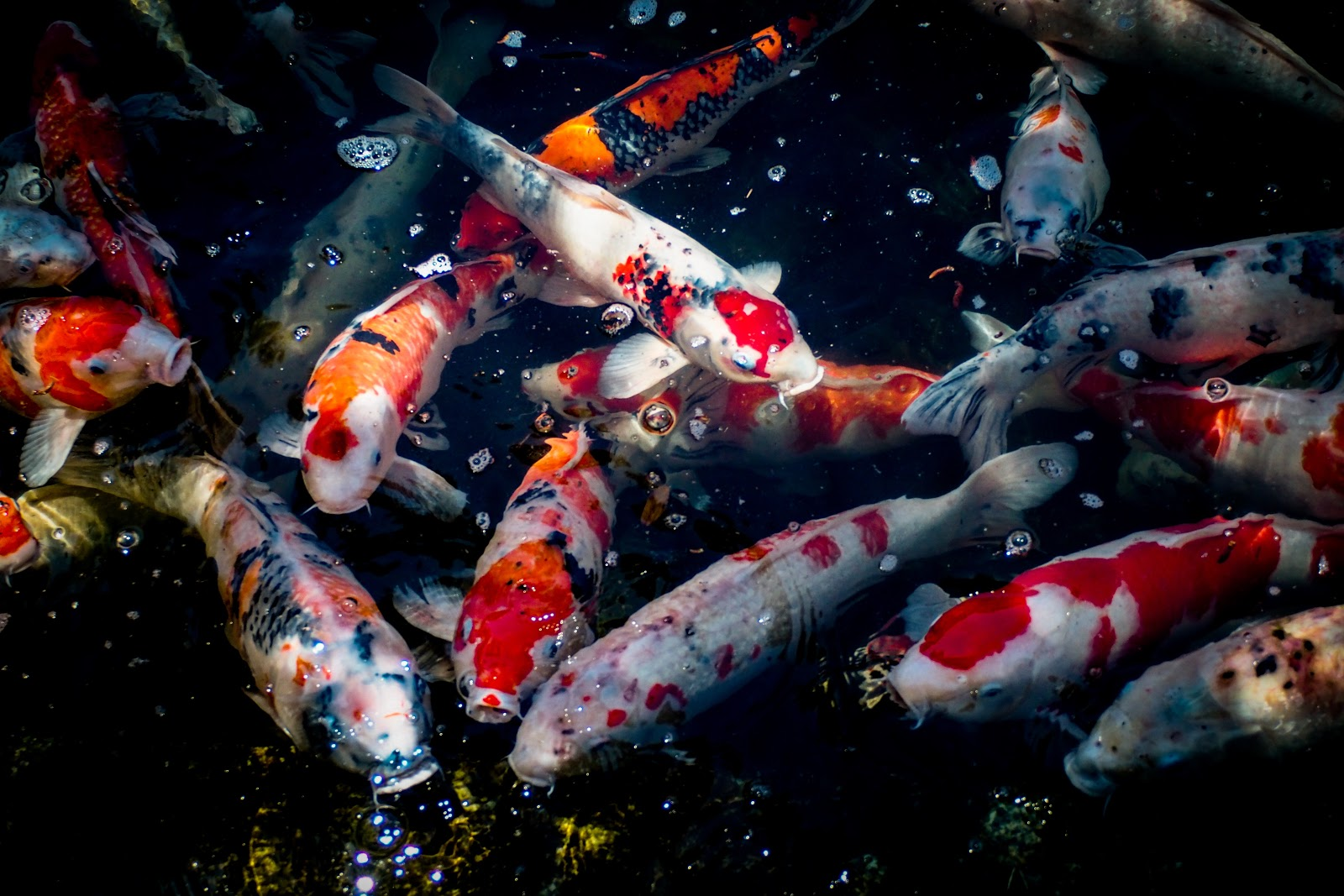 池の何匹もの錦鯉