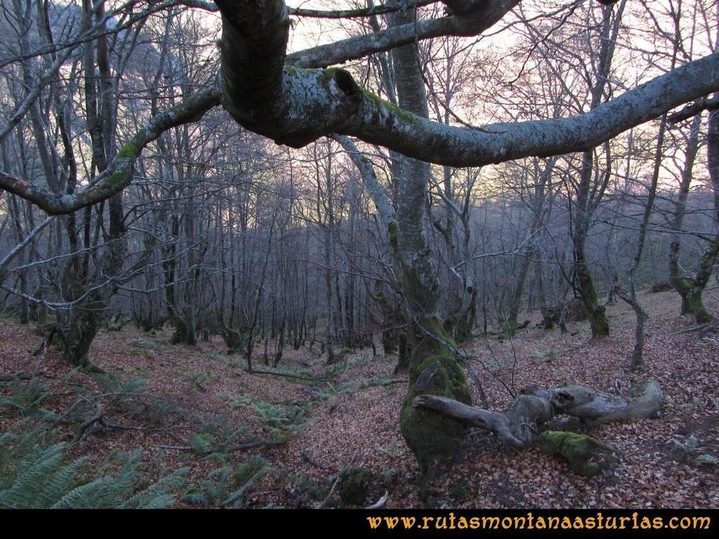 Ruta Tromeu y Braña Rebellón: Hayedo con hojas en el suelo
