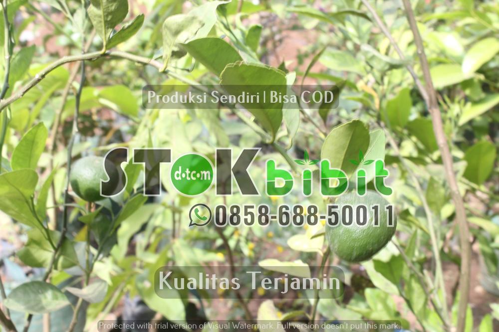 CV.Mitra Bibit Peduli Lingkungan    berkualitas     Grosir