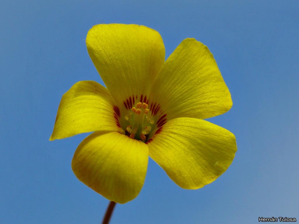 Flora Bonaerense Vinagrillo De Flores Amarillas Oxalis Conorrhiza