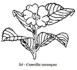 Hình đen trắng Sở - Camellia sasanqua - Nguyên liệu làm thuốc Có Chất Độc