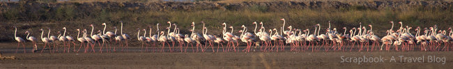 Greater Flamingoes at Dhola Vira Gujarat India