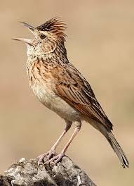 Suara Burung Branjangan Super Gacor Masteran Terbaik Burung Murai