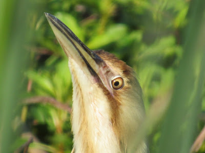 american bittern bird