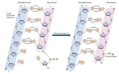 sintesis DNA, replikasi DNA, DNA polimerase III, DNA polymerase III, ikatan fosfodiester, cara nukleotida berikatan