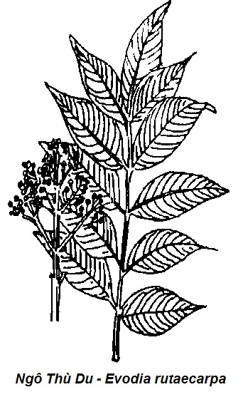 Hình vẽ Ngô Thù Du - Evodia rutaecarpa - Nguyên liệu làm thuốc Chữa Bệnh Tiêu Hóa