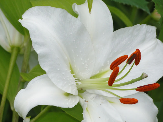 white lily with stamens