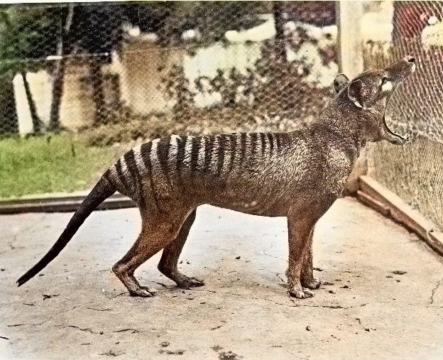 Momentos Del Pasado Las últimas Imágenes Del Extinto Tigre De Tasmania