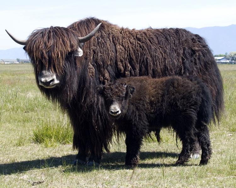 penis yak tibetan