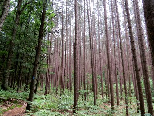 red pine plantation