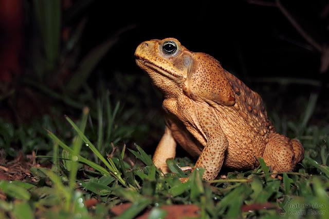 Rhinella marina - Cane Toad