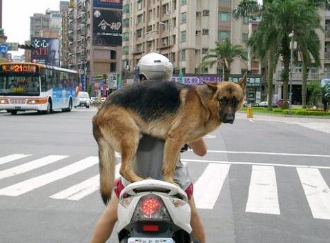 Dạy chó ngồi xe