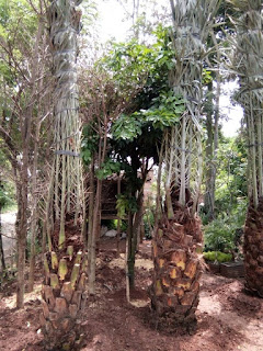 harga pohon palem kurma tinggi 50 cm hanya di taman flora indah jaya