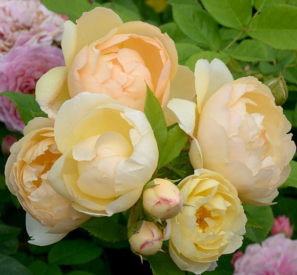 Wollerton Old Hall сорт розы фото Минск купить саженцы питомник