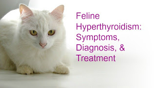 "Feline hyperthyroidism graphic has a white cat and says, ""Feline Hyperthyroidism: Symptoms, Diagnosis, & Treatment."""