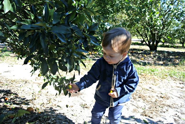 Alternative activity to the theme parks: Orange picking in Orlando, Florida