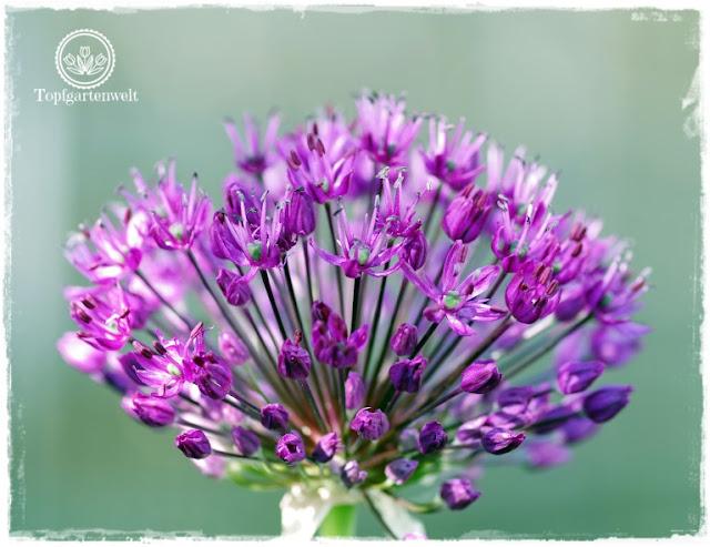 Gartenblog Topfgartenwelt Unkrautvlies im Test: Zierlauch im Blumenbeet