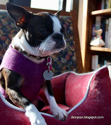 Sinead the Boston terrier and the stink eye