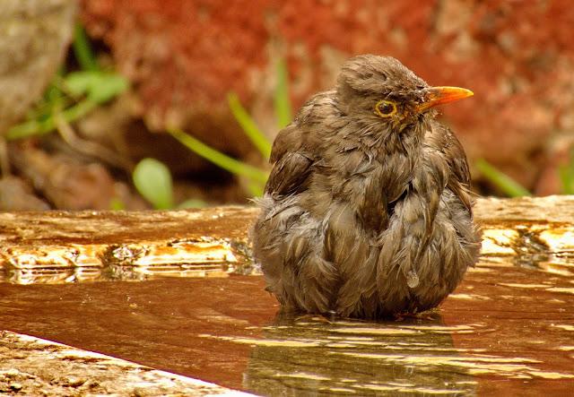 o banho delicioso do melro-preto