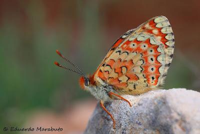 Euphydryas desfontainii Marruecos