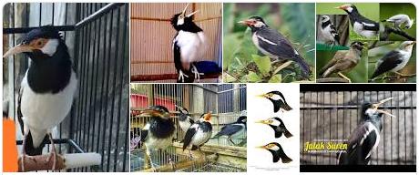 contoh Burung Jalak Suren