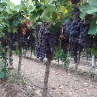 akan-zaman, kara-kış, zeytin, don, sevgili,şarap, gönül,