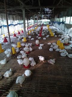 gambar peternakan ayam broiler