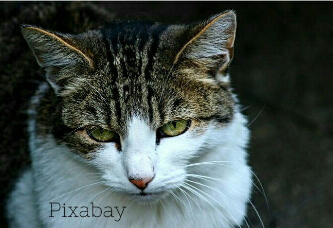 8500 Gambar Hewan Kucing Kampung HD Terbaik