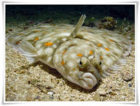 Flounder Fish Animal Pictures