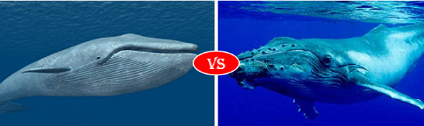 Blue Whale Vs Humpback Whale