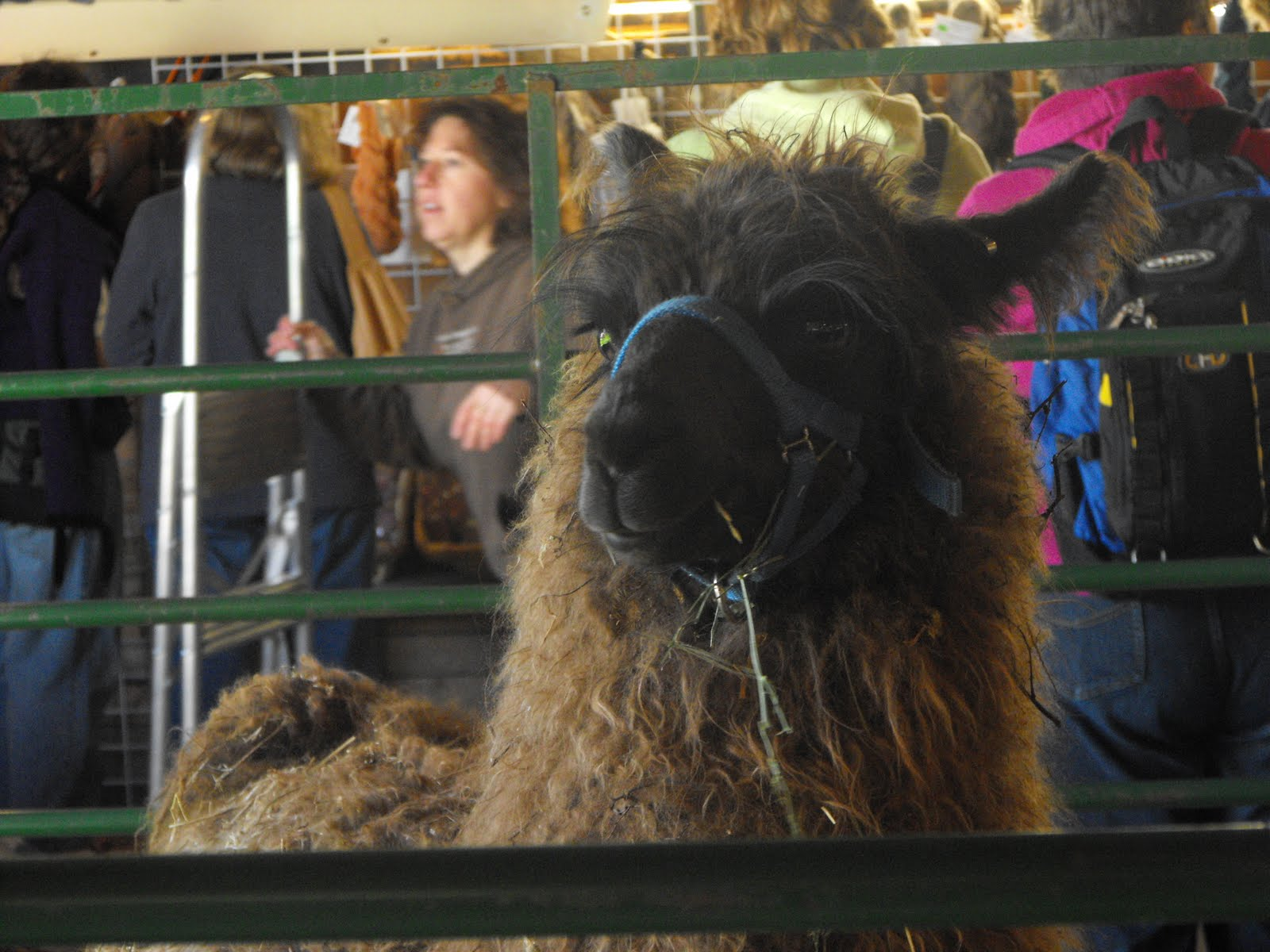 Knitting Out Loud: Connecticut Sheep and Wool Festival 2011
