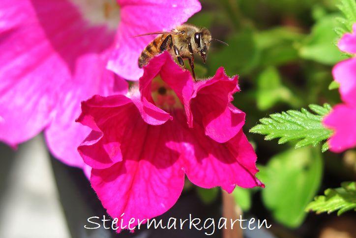 Biene-Steiermarkgarten