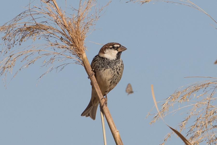 Flocks of Spanish Sparrows – Haradh