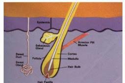 Anatomi dan Fisiologi Rambut