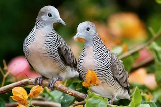 Perkutut salah satu burung yang mempunyai bunyi nyaring dan khas Kabar Terbaru- CARA TERNAK PERKUTUT SANGAT MUDAH