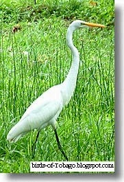 Great Egret (Egretta alba) white heron