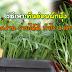 วิธีเพาะต้นอ่อนผักบุ้ง ปลูกง่าย รายได้ดี กำไร 4 เท่าตัว