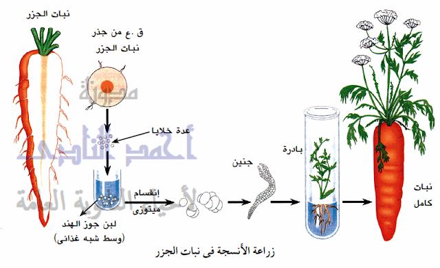 زراعة الأنسجة النباتية  - الجذر- صور التكاثر اللاجنسى