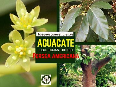 Persea americana, árbol de Aguacate, imagen de la flor, hoja y tronco