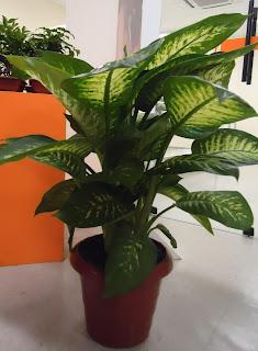 Flor do valle plantas ornamentais de sombra for Planta ornamental venenosa dieffenbachia