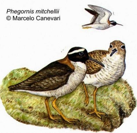 Chorlito de vincha: Phegornis mitchellii