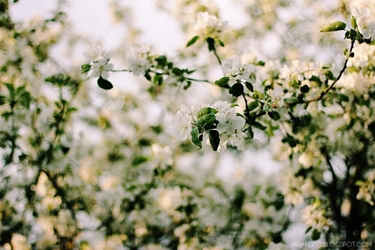 jabłoń, kwitnąca jabłoń, fotografia przyrodnicza, canon 50 1.4, bokeh, rozmazany bokeh