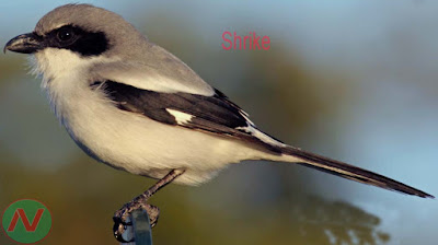 shrike bird, কসাই পাখি