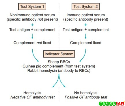 Principles of complement fixation (CF) test. RBCs, Red blood cells.