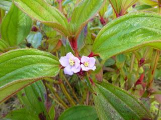 Voatouque - Tristemma mauritianum