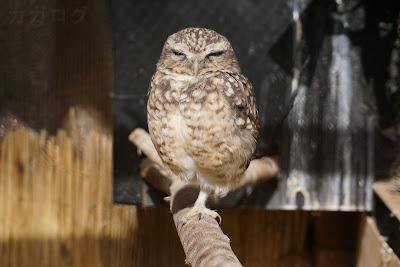 大宮小動物園のアナホリフクロウ