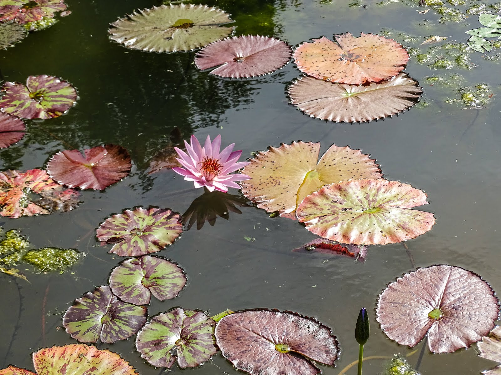 Walking arizona water lily with leaves these beautiful flowers are water lilies or nymphaeaceae here is a general description of the family izmirmasajfo