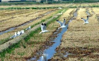https://www.efeverde.com/noticias/jornadas-arroz-aves-arrozal-palazuelo-badajoz/
