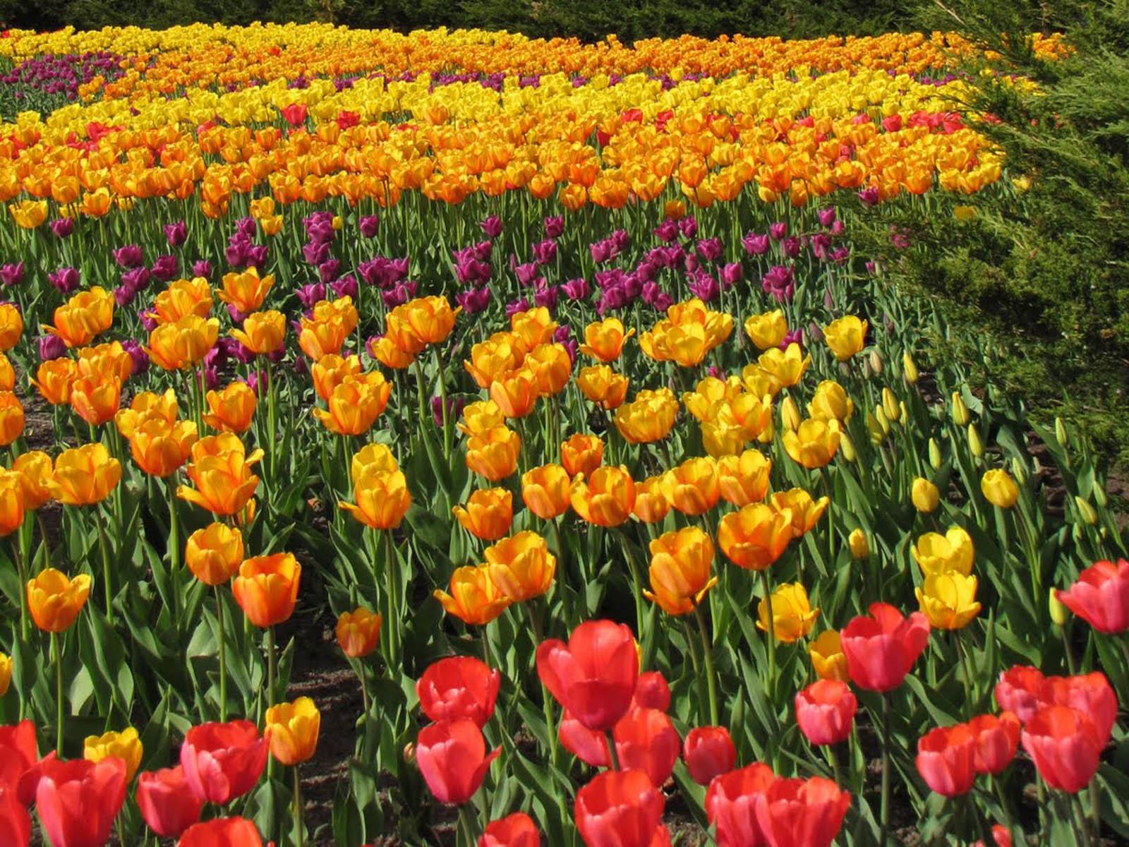Wallpapers: Ottawa Tulips