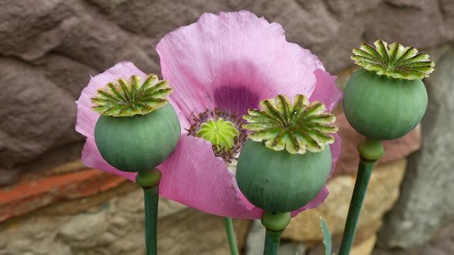 la fleur du dimanche les fleurs d 39 t pavot pas pris papier feuilleton d 39 t pisode 7. Black Bedroom Furniture Sets. Home Design Ideas